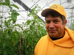 tastier winter tomatoes thanks to a boom in greenhouse growing