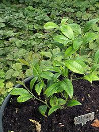 Plant Diseases Wikipedia - chlorosis wikipedia
