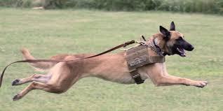 belgian shepherd oregon 24 7 battle buddies