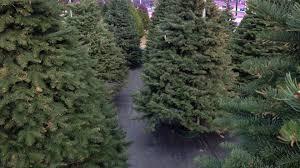 100 tree photos paradise christmas tree farm the recycled