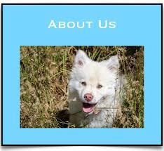 american eskimo dog dallas dogs etc of texas