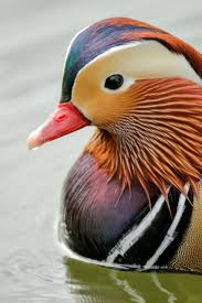 everything you ever wanted to know about ducks