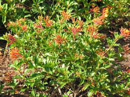 florida native nursery plant city fl dwarf firebush plant florida plant list u0026 butterfly visitors