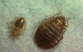 Wisconsin travel bug images Bedbug reports skyrocket in milwaukee area nationally jpg