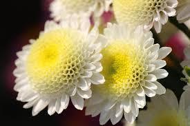 free photo mums flower floriade macro close up chrysanthemums