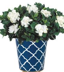 Indoor Fragrant Plants - buy plants online indoor plant delivery calyx flowers