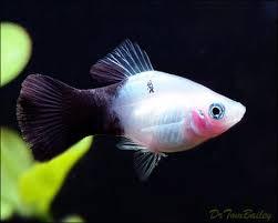black and white platy fish i like aquarium pandas