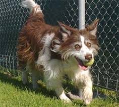 bearded collie and border collie mix our pet sits u2013 information and fees dog walkers walking u0026 pet