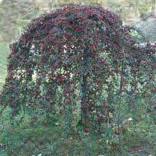 cotoneaster on standard dammann s trees gardens