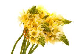 of bethlehem flower of bethlehem flower meaning flower meaning