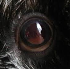 Blind Dog Eye Discharge Guinea Lynx Eyes