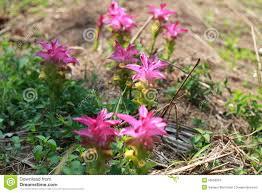 native ginger plant turmeric flower stock photo image 53059903
