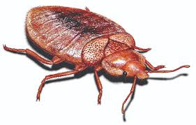 Can Bed Bugs Live On Cats What Do Bedbug Bites Look Like What Do Bed Bugs Look Like