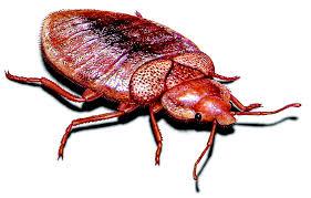 Bed Bug Com What Do Bedbug Bites Look Like What Do Bed Bugs Look Like