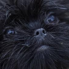 affenpinscher for sale canada 57 best dogs images on pinterest
