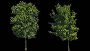 high quality 10bit footage of trees on the different wind with alpha