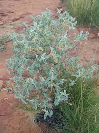native plants in australia bush tomato wikipedia
