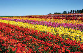san diego flowers carlsbad ranch flower fields feature 50 acres of ranunculus