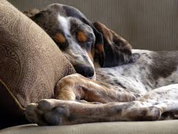 bluetick coonhound exercise the 93 best images about bluetick coonhound on pinterest
