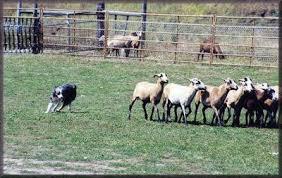australian shepherd herding australian shepherd information