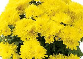 135 flowers mums images flowers fall mums