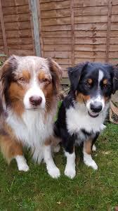 australian shepherd uk puppy and dog care brentfordvets