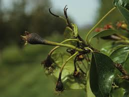 Bacterial Diseases Of Plants - disease management wsu tree fruit washington state university