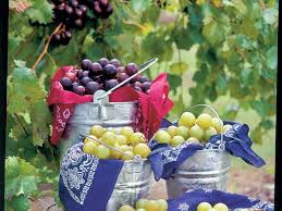 growing muscadines southern living