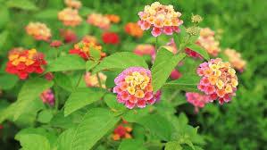 Verbena Flower Verbena Flowers Stock Footage Video 25198007 Shutterstock