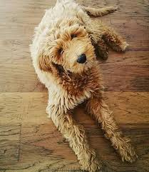 goldendoodle puppy virginia pride and prejudoodles hypoallergenic pets trained doodles