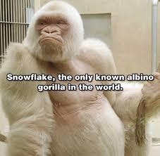 Funny Gorilla Meme - albino gorilla funny pictures quotes memes funny images funny