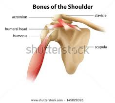 Anatomy Of The Human Body Bones Shoulder Anatomy Stock Images Royalty Free Images U0026 Vectors