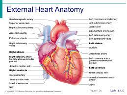 Heart Anatomy Arteries Cardiac Cycle U0026 Review Of Heart Anatomy For Bio 260 From Marieb