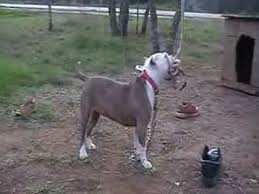 does bully max work for pit bulls youtube