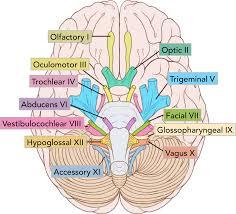 Brain Stem Anatomy Summary Of The Cranial Nerves Teachmeanatomy