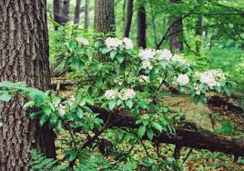 native plants of pa mountain laurel west virginia pinterest mountains and virginia