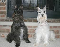 zwerg affenpinscher miniature schnauzer dog breed information and pictures