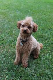 haircutsfordogs poodlemix best 25 poodle haircut styles ideas on pinterest poodle cuts