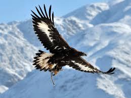 golden eagle population set to soar after 1 3 million funding