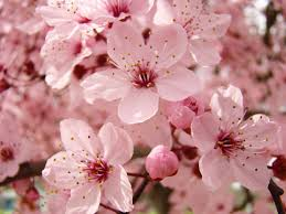 pink blossoms 63 tree blossom flowers by baslee