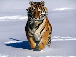 fotos para pc gratis tigre fondos de pantalla gratis para pc