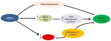 ijms free full text the immunomodulatory and neuroprotective