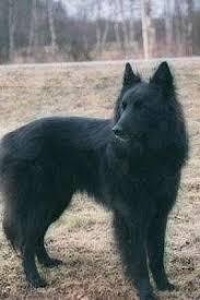 belgian sheepdog club of america national specialty groenendael belgian shepherd dog wikipedia the free