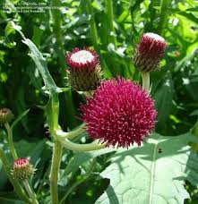 138 best thistle images on thistles scotland and