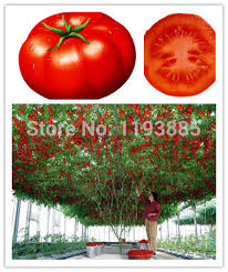rainbow black friday rainbow strawberry seeds picture more detailed picture about