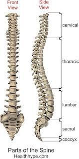 Human Vertebral Column Anatomy Parts Of The Spine U2013 Anatomy Picture Spinal Column Backbone