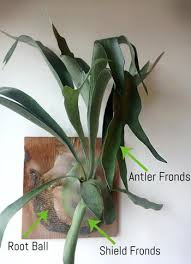 staghorn fern care how to water grow and care for staghorn ferns