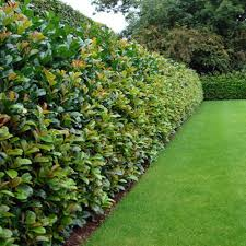 hedging plants budget wholesale nursery image hedge laurel all hedging a z by species u203a laurel