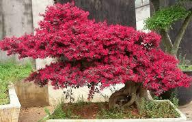 plantwerkz fringe flower loropetalum chinense
