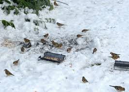 birds in the snow all creatures wildlife the rspb community